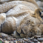 Young lioness sleeping thumbnail