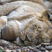 Young lioness sleeping