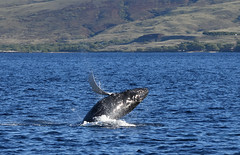 DSC_0220 (Don Holmgren) Tags: hawaii humpbackwhales babywhale breach kohalacoast