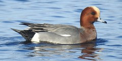 wigeon male (BSCG (Badenoch and Strathspey Conservation Group)) Tags: moray bird sunshine march duck wi male drake