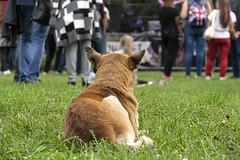 Patient listener (ucrainis) Tags: dog animal zaporizhzhia ukraine nature people concert grass green lying orange fest rock