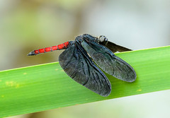 Male Skimmer - Diastatops obscura (Libellulidae) 111s-8734 (Perk's images) Tags: skimmer diastatopsobscura odonata anisoptera dragonfly insect male neotropical rioguapiassu regua cachoeirasdemacacu atlanticforest brazil southamerica animalplanet