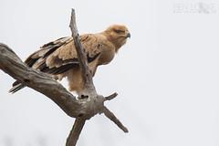 Tawny Eagle (Ben Locke.) Tags: tawnyeagle eagle raptor birdofprey bird birds wild wildlife nature africa southafrica