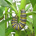 Monarch caterpillars of March - now!