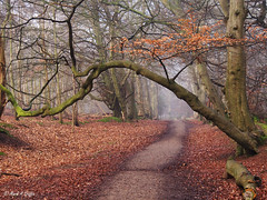 Lolloper (mark.griffin52) Tags: mist olympusem5 england hertfordshire ashridgeestate foresterspath forestpath countryside forest woodland beechtree tree