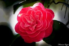 Camellia  Camélia (Ezzo33) Tags: camellia camélia france gironde nouvelleaquitaine bordeaux ezzo33 nammour ezzat sony rx10m3 parc jardin fleur fleurs flower flowers jaune yellow mauve rose pink rouge red bleu blue blanche white
