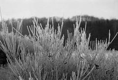 crystal shrub (mischlicht.net) Tags: kentmere400 leicam6classic xtol10 zeisscbiogon35mm28 mischlicht mischlichtnet filmphotography analogue analogefotografie blackandwhite schwarzweis monochrome landschaft landscape winter frost ice