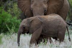 African Elephant (leendert3) Tags: leonmolenaar southafrica krugernationalpark wildlife nature mammals africanelephant ngc naturethroughthelens npc coth5