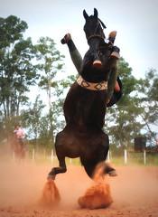 Edmar Nera e Macumbeiro (Eduardo Amorim) Tags: gaúcho gaúchos gaucho gauchos cavalos caballos horses chevaux cavalli pferde caballo horse cheval cavallo pferd pampa campanha fronteira quaraí riograndedosul brésil brasil sudamérica südamerika suramérica américadosul southamerica amériquedusud americameridionale américadelsur americadelsud cavalo 馬 حصان 马 лошадь ঘোড়া 말 סוס ม้า häst hest hevonen άλογο brazil eduardoamorim gineteada jineteada
