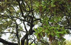 Live Oak - Tough & Tender (brucecarlson66) Tags: central texas live oak tree tough tender spring catkins leaves twisted craggy green color brown gnarled bright nature old dripping springs austin quercus fusiformis beauty majesty flora