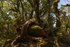 Elder One (StarCitizen) Tags: newzealand rainforest tree woods enchantedforest