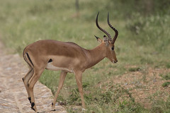 IMG_6953 (Rorals) Tags: impala animal wildlife mammal southafrica animals safari kruger antelope africa nature