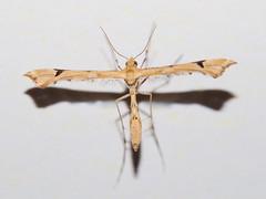 Polilla pluma (Pterophoridae sp). (Andres Bertens) Tags: 7285 olympusem10markii olympusomdem10markii olympusm60mmf28macro olympusmzuikodigitaled60mmf28macro rawtherapee plumemoth polillapluma pterophoridae insect