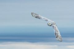 Snowy owl in flight (dwb838) Tags: