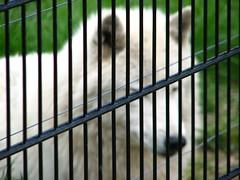 Black lines (Vallø) Tags: vallø danmark denmark zoo animal dyr animalpark line linje black sort hvid white ulv wolf fence hegn grøn green dyrepark knuthenborgsafaripark knuthenborg safaripark lines linjer outside outdoor