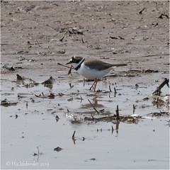Little Ringed Plover (Huddsbirder) Tags: huddsbirder fe70300mm sony a6500 littleringedplover rspb titchwell