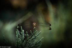 Libélula (ivannlugo) Tags: libelula alguacil macro nature nikon argentina animal