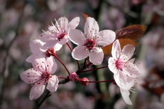Pink spring (__ PeterCH51 __) Tags: pink blossoms flowers spring springtime pinkspring frühling blüte nature basel switzerland springblossoms seasons closeup macro makro springisintheair peterch51 bokeh