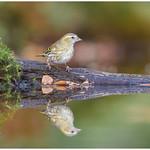 Eurasian Siskin (female) - Sijs (vrouw) (Carduelis spinus) thumbnail