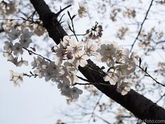 Cherry Blossoms (David R. Crowe) Tags: angiosperm angiosperms branch colour energy flower floweringplant light nature plant rosaceae rosefamily white kyoto japan