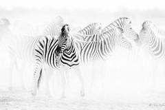 Leaving (Ana Isabel Iranzo) Tags: black white zebras wildlife canon ana isabel iranzo