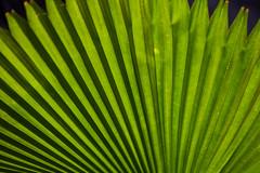 Bangkok – Palm leaf (Thomas Mülchi) Tags: residenceoftheembassyoffrance bangrakdistrict bangkok 2018 plant palmleaf thailand bangkokmetropolitanregion th