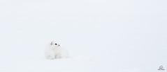 White on White (Glatz Nature Photography) Tags: white bigstoat bridledweasel weasel mustelid mustelafrenata longtailedweasel glatznaturephotography nature nikond850 northamerica snow usnationalparks wildanimal wildlife winter yellowstonenationalpark