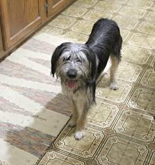 Bash (debstromquist) Tags: bash terriermixes pets dogs teresasplace barbourville ky kentucky