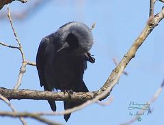 My ear itches (Jurek.P2 - new account) Tags: bird birds ptak ptaki kawka jackdaw nat closeup jurekp2 sonya77