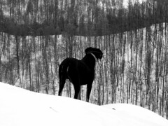 terepszemle / recce (debreczeniemoke) Tags: tél winter erdő forest fa tree hegy mountain frakk kutya dog erdélyikopó transylvanianhound morgó fekete fehér feketefehér black white blackandwhite bw olympusem5