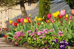 Bunte Tulpen (KaAuenwasser) Tags: blumen pflanzen blüten beet anlage grün tulpen gänseblümchen stiefmütterchen frühling botanischergarten karlsruhe weg gelb rot bunt farben