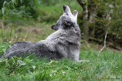 Loup du Canada_GANDALF (Passion Animaux & Photos) Tags: loup canada canadian wolf parc animalier saintecroix france