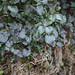 Majorly Green Ivy