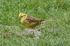 Yellowhammer (sumowesley) Tags: fauna nbird nature oldmoor yellowhammer
