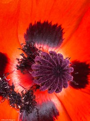 coeur-coquelicot©. (alexandrarougeron) Tags: photo alexandra rougeron flickr fleurs nature plante végétal végétale ville beauté couleur frais
