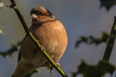 Chaffinch (XPC1217) Tags: chaffinch brockholes samlesbury preston canon6d canon wildlife bird