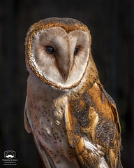 The Eyes! (allentimothy1947) Tags: birdrescuecenter california santaroaa birds bird rescue center nature santa roaa barn owl beak raptor beautiful damaged eyes face feather injured nocturnal portrait