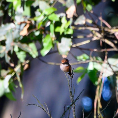 Allen's Hummingbird (phoca2004) Tags: birding strybingarboretum nikon sanfrancisco birds allenshummingbird selasphorussasin goldengatepark sanfranciscobotanicalgardensociety z6 sanfranciscobotanicalgarden california unitedstatesofamerica us sanfranciscobotanicalgardenatstrybingarboretum