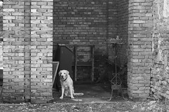 IMG_0578 (BernaPhotography) Tags: vintage abandoned ruined forgotten church serbia srem blackandwhite labradorretriever lab labrador dog pet yellow
