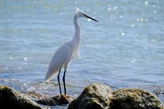 Little Egret (kalbasz) Tags: nauture animal little egret spain fuert fuerteventura fujixt2 xf55200