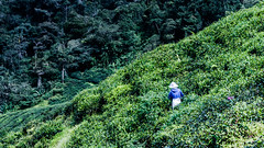 Lost in the tea (Cédric Nitseg) Tags: nikon malasia people cameronhighlands personne tea greelow malaisie voyage man homme thé vert travel worker outdoor hat travelling green d7000 human backpacker plantation