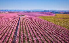 Aitona is Pink (PepinAir) Tags: aitona lleida mavic catalunya españa es landscape colors pink spring catalonia flowers dji photoair airphoto dronephoto