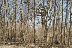 Skinny In Winter And A Big One (Modkuse) Tags: provia fujiprovia fujifilmxt2provia fujifilmxt2proviasimulation tree trees treescape landscape nature natural art artphotography photoart fineartphotography fineart fujifilm fujifilmxt2 xt2 xf1855mmf284rlmois fujinon fujinonxf1855mmf284rlmois