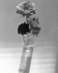Suspended (Tim Roper) Tags: 4x5 dilutione film flowers hc110 hp5 intrepid fujinon 135mm blackandwhite large format analog roses