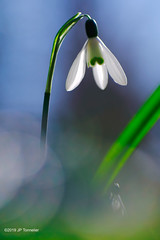 perce-neige dans la douceur (jpto_55) Tags: fleur perceneige proxi bokeh xt20 fuji fujifilm kiron105mmf28macro hautegaronne france ngc