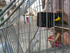 el cantante maestro (gerrygoal2008) Tags: cantante maestro street calle aves bird cage rue vida lavida llaman me tombola