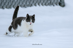 Cat in the snow (psdenbow) Tags: cat canon feral feline maryland tamron tamron150600 snow