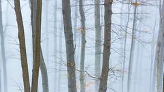 Foggy forest (BenedekM) Tags: fog foggy pilis hungary magyarorszag nature trees woods leaves empty mood dark light art hungarian nikond3200 d3200 sigma sigma1750f28 shadow