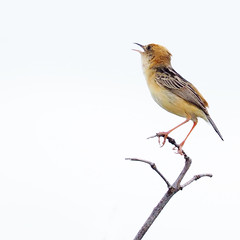 golden-headed cisticola (lee paqui) Tags: bird australianbird cisticola goldenheadedcisticola grassbird