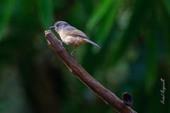 Gray-cheeked Fulvetta, (Arvind Manjunath) Tags: arvindmanjunath birds motofotog 2015 dandeli